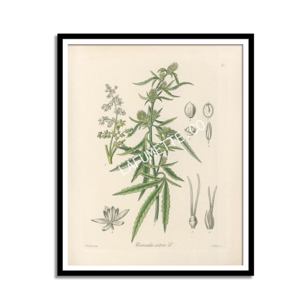 Cannabis sativa Print - 1896  - 1