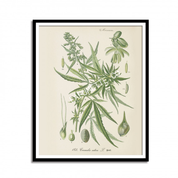Vintage Cannabis Botanical Print -1903  - 1
