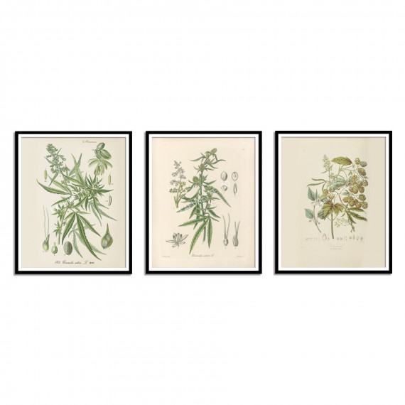 Cannabis sativa Print - 1896  - 2