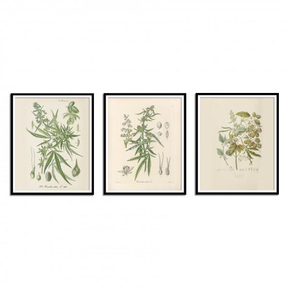 Vintage Cannabis Botanical Print -1903  - 2