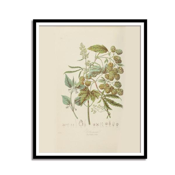 Vintage Cannabis Botanical Print - 1868  - 1